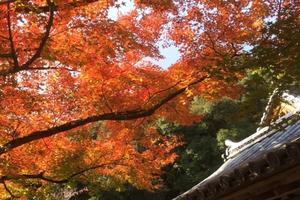 鈴虫寺の紅葉情報 ~鈴虫の音色を聴きながら紅葉を味わう|MKタクシー