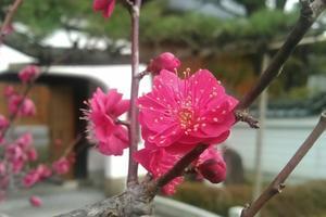今週末おすすめの花スポット(2/11-12)梅、椿