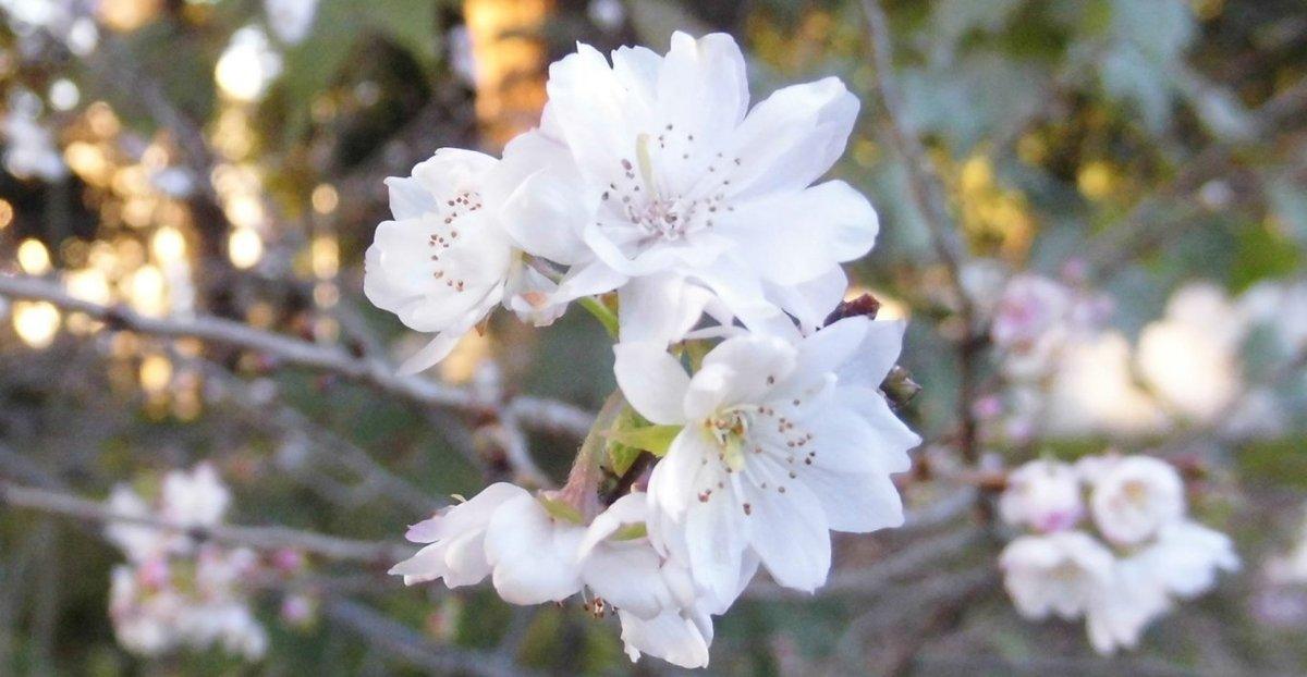 寒桜(カンザクラ)の特集 ~佐...