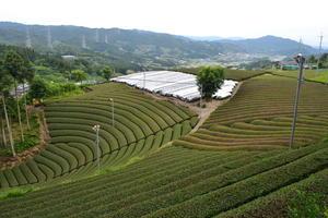 茶源郷 和束探訪② ~円形茶園/和束
