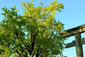 豊国神社の銀杏(イチョウ)特集 ~正面通の正面にある堂々たるイチョウ|MKタクシー