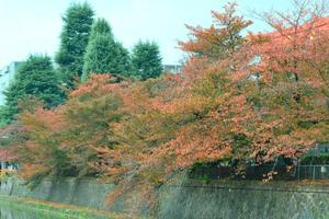 岡崎界隈の紅葉 ~桜・紅葉葉楓・桂・欅でいち早く色付く文化地区|MKタクシー