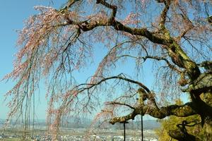 地蔵禅院の枝垂桜(府指定天然記念物)を訪ねる