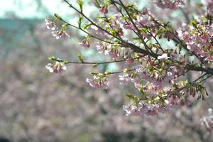 淀水路の河津桜 ~京都一早咲きの「桜並木」がもうすぐ見ごろ