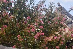 百日紅(サルスベリ)特集【洛西/洛北】 ~大覚寺/府立植物園など|MKタクシー