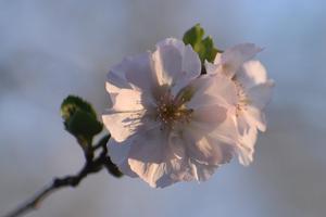 冬桜(フユザクラ)/四季桜(シキザクラ)の特集 ~府立植物園/知恩院など|MKタクシー