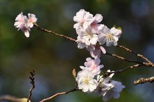 十月桜(ジュウガツザクラ)の特集 ~平野神社/府立植物園/宇治市植物公園|MKタクシー
