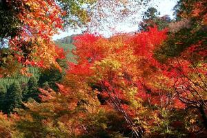 高雄/パークウェイの紅葉特集 ~11月上旬に紅葉を楽しみたいならここ|MKタクシー